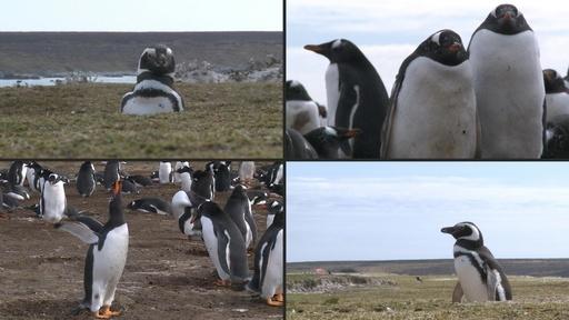動画:フォークランド諸島のオウサマペンギン、観光産業成長の「カギ」