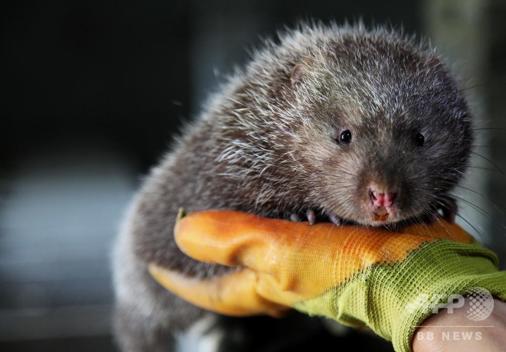 野生動物養殖の撤退補償案を初公表、タケネズミは1キロあたり1130円補償 中国政府