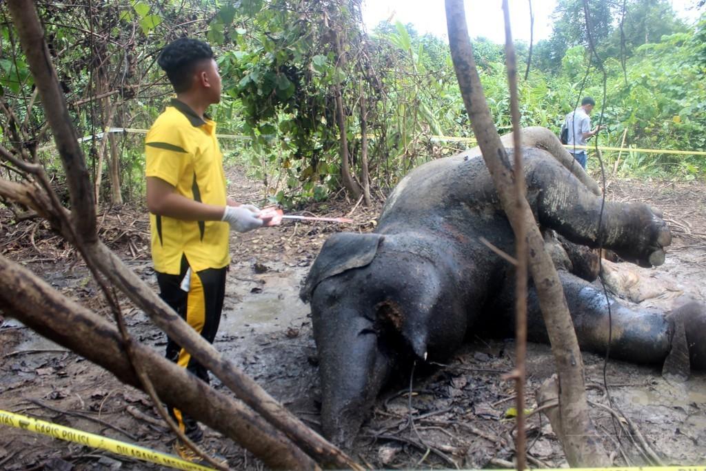 妊娠中のスマトラゾウの死骸発見、毒殺か インドネシア