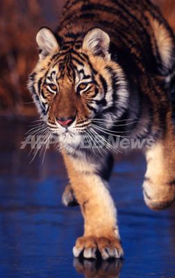 飼育下のトラの数が、野生のトラの数よりも多いという現実