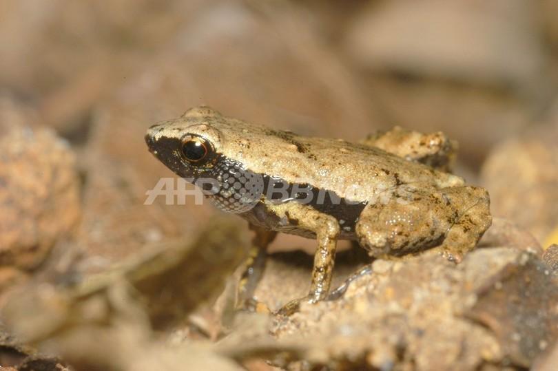 口で音を聞き取る極小カエル、セーシェルの熱帯雨林に生息