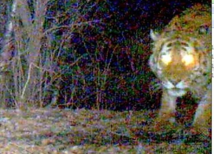 アムールトラなどの絶滅危惧種、多数出没 黒竜江省