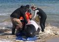 豪クジラ大量打ち上げ、380頭死ぬ 救助活動むなしく