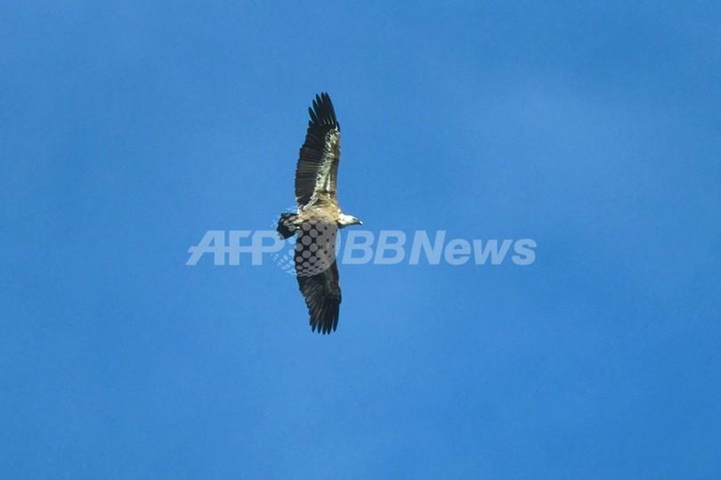 スコットランド上空に「ハゲワシ注意報」、ショーの最中に飛び去る