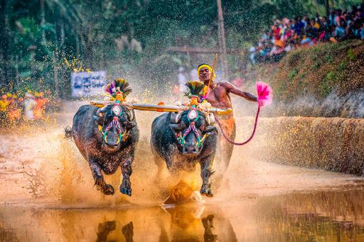 「ボルトより速い」男敗れる、水牛レースで記録更新 インド