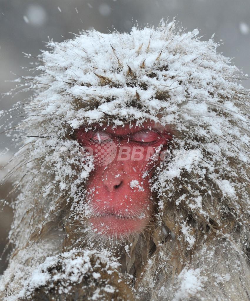 """寒い冬でも極楽""""湯""""楽…地獄谷のニホンザルたち"""