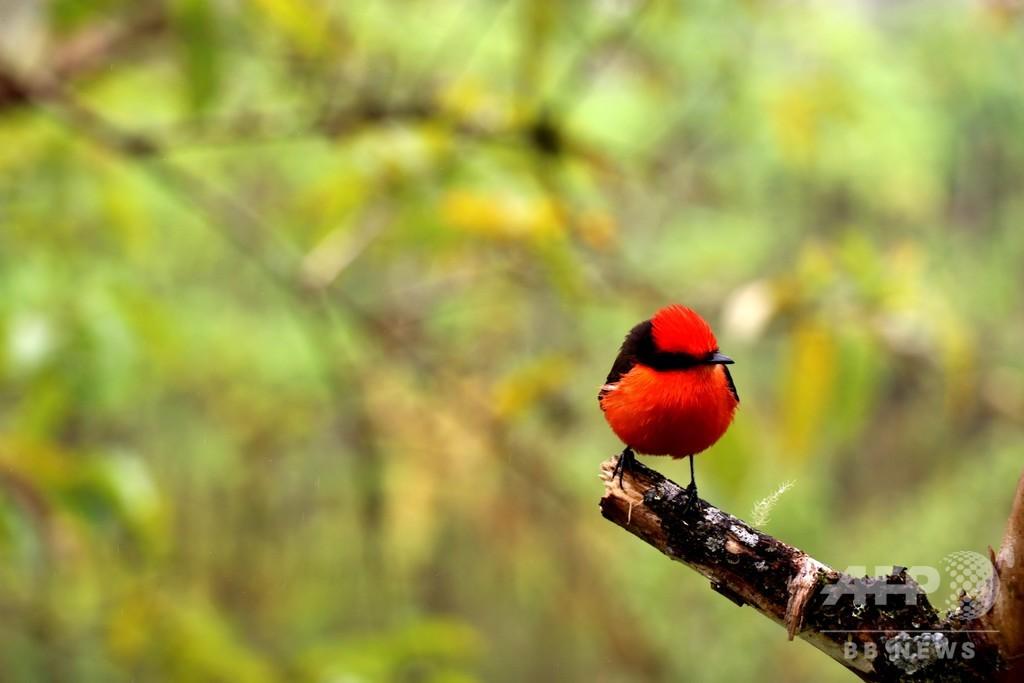 「ダーウィンのタイランチョウ」 ひな6羽ふ化 ガラパゴス諸島
