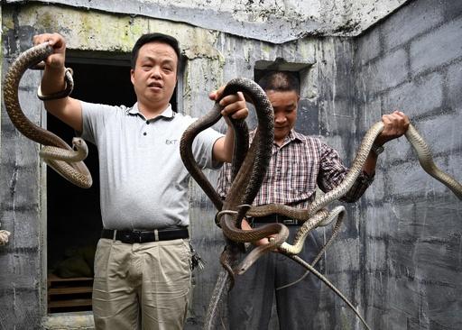 ナンダにコブラ…貧困脱却に向け蛇を養殖 広西・河池