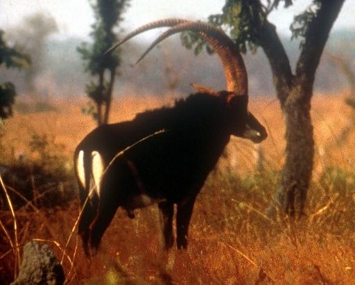 長期の内戦で絶滅の危機、アンゴラ固有のレイヨウを発見