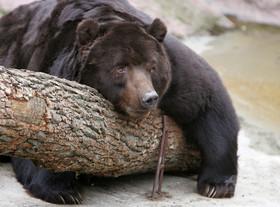 列車が故意にクマをひき殺す?運転席からの動画が物議 ロシア