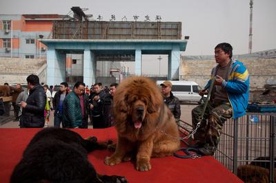 「富の象徴」チベタン・マスティフはいかが?販売会開催、中国