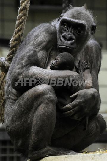 「かぜひかないで」、母ゴリラが生まれたての赤ちゃんをギュッ!ドイツ