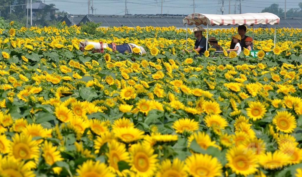 恒例ひまわりフェスティバル開催、栃木県野木町