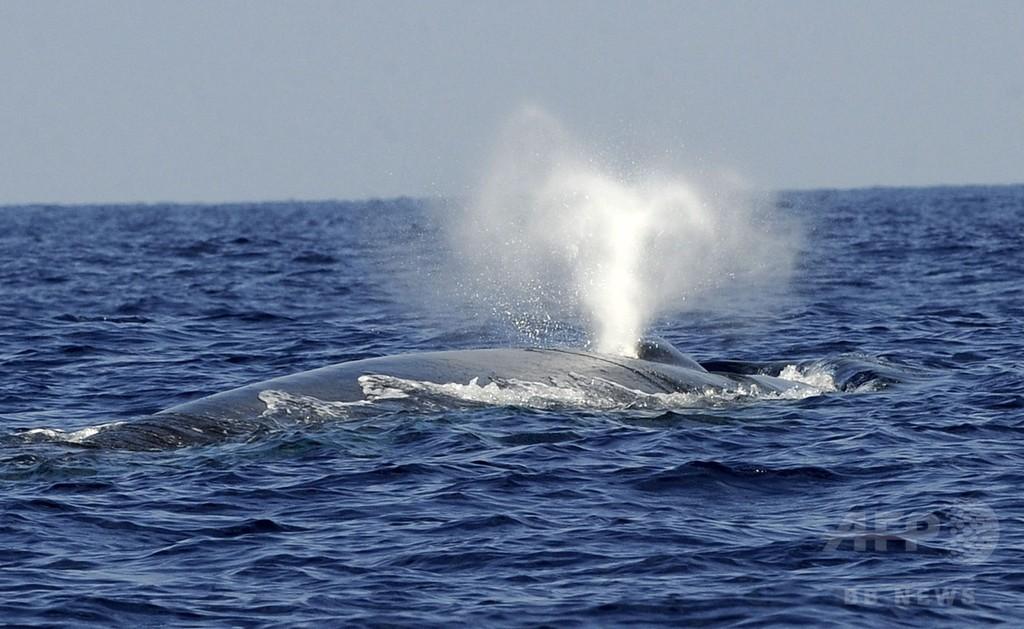 シロナガスクジラも「右利き」が多数派 捕食行動分析で判明