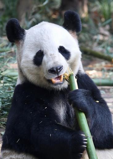 パンダの歯に自己修復機能 中国科学院研究チームが発見