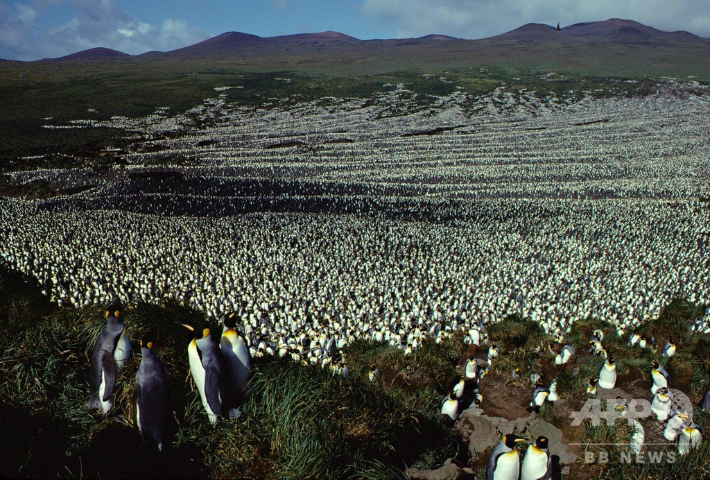 オウサマペンギン、世界最大のコロニーが90%縮小 研究