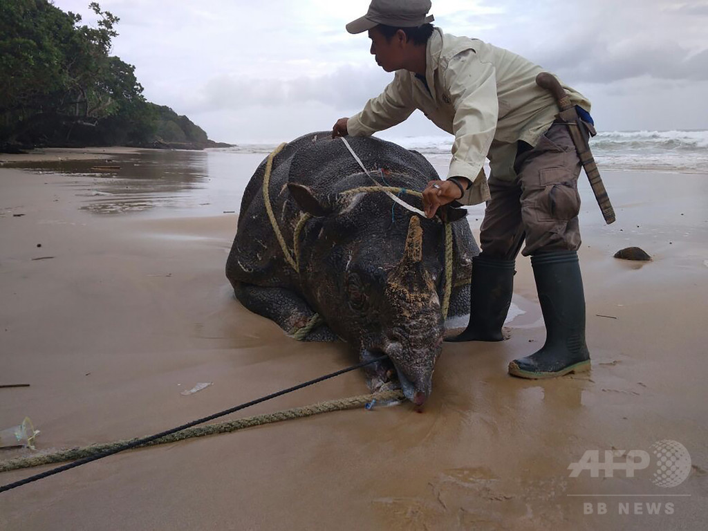絶滅危惧種のジャワサイ死ぬ、残りわずか60頭 インドネシア