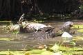 巨大ワニが共食い、空中で振り回して丸のみ 豪国立公園