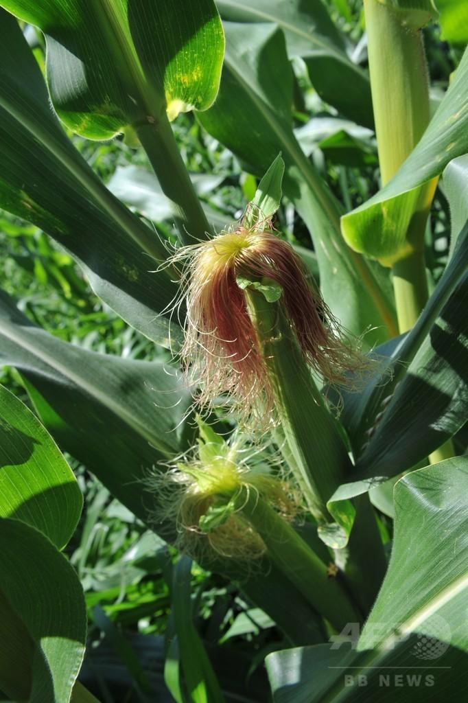 スイス農業化学大手に242億円賠償命令、米農家へのGMO種子販売で