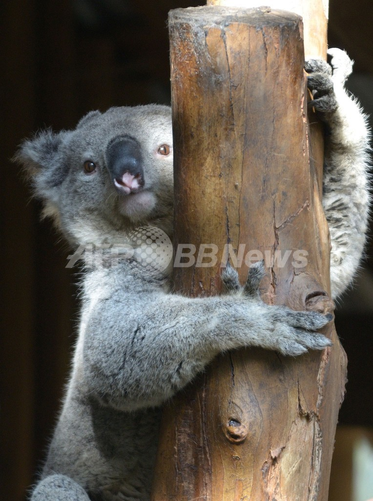 オスのコアラに別の声帯、求愛行動で利用 英研究