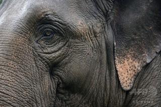ゾウが客襲い2人死傷 タイのレストランで
