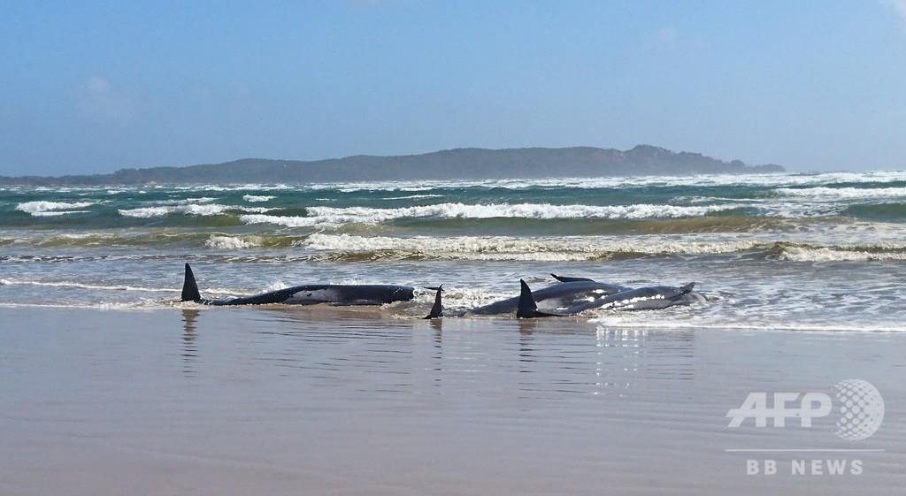 クジラ70頭、砂州に乗り上げ身動き取れず 豪南部