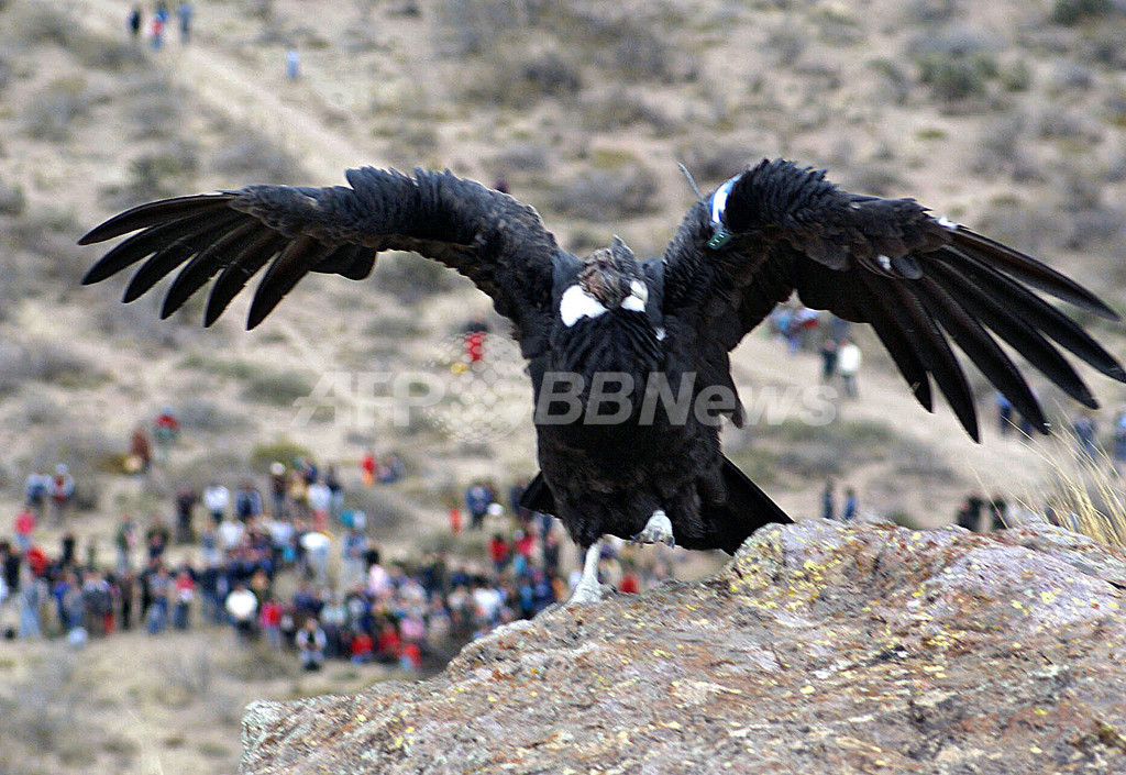 アルゼンチンはチリと共同で、絶滅の危機にある「アンデスコンドル」の保護を推進