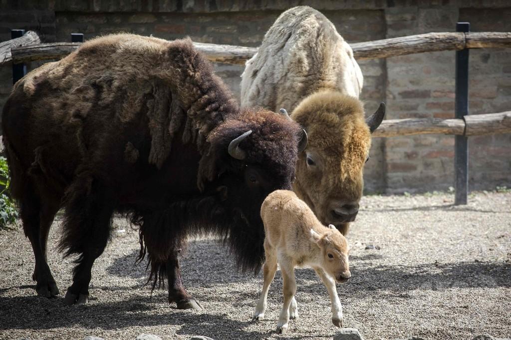 セルビアで白いアメリカバイソンの赤ちゃん誕生、欧州初か