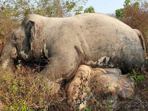 牙と尾を切断されたゾウの死骸、カンボジアの自然保護区で発見