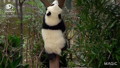 動画:【パンダフル】パンダの「人生」は甘くない