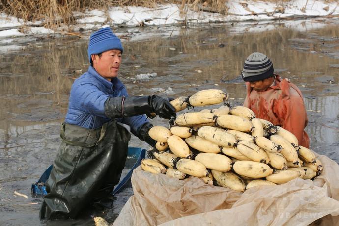 レンコン職人が活躍、真冬の収穫期中国・山東省