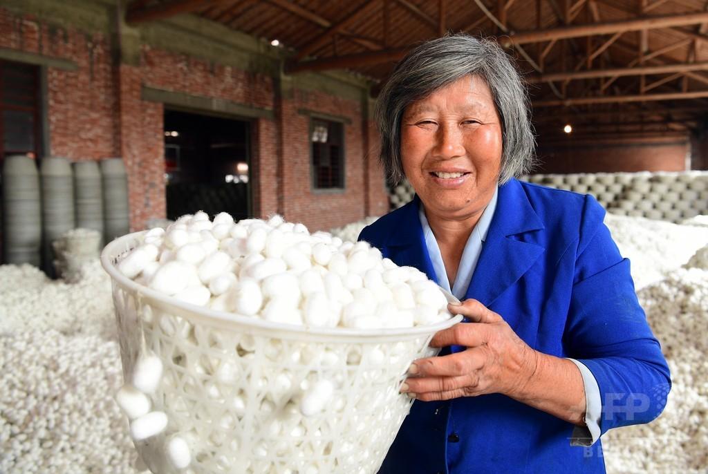 純白の繭たっぷり  江蘇省「シルクの郷」で カイコの収穫期