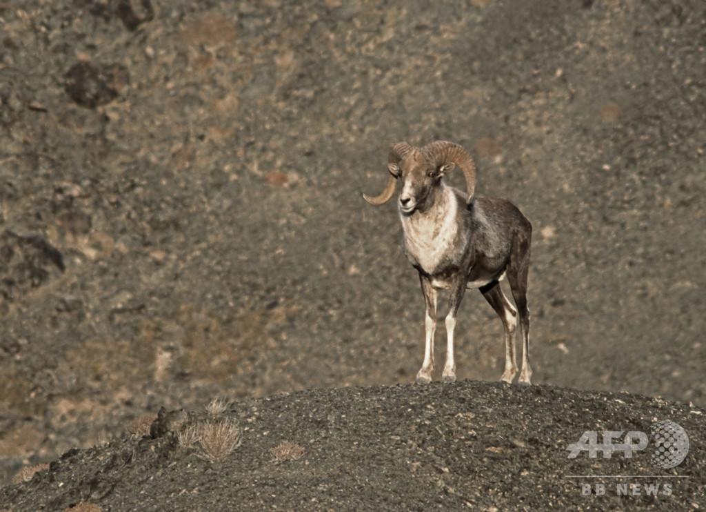 トランプ氏長男、モンゴルで希少な野生ヒツジ射殺 狩猟許可は後付け