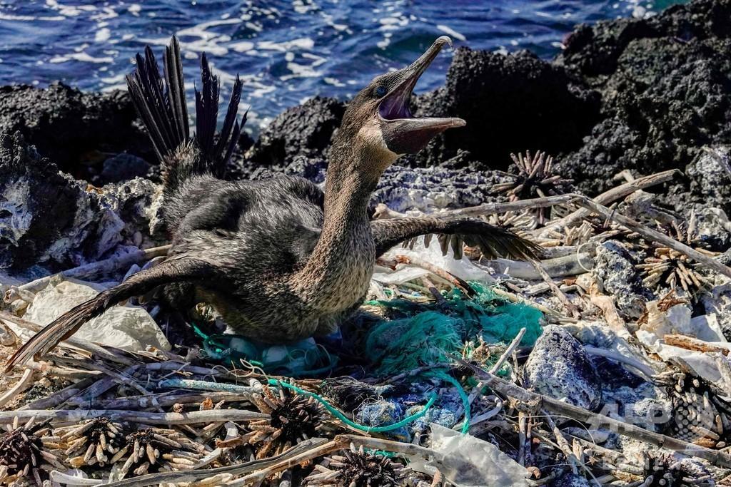 ガラパゴス諸島固有の動物相、プラスチック微粒子が脅威に