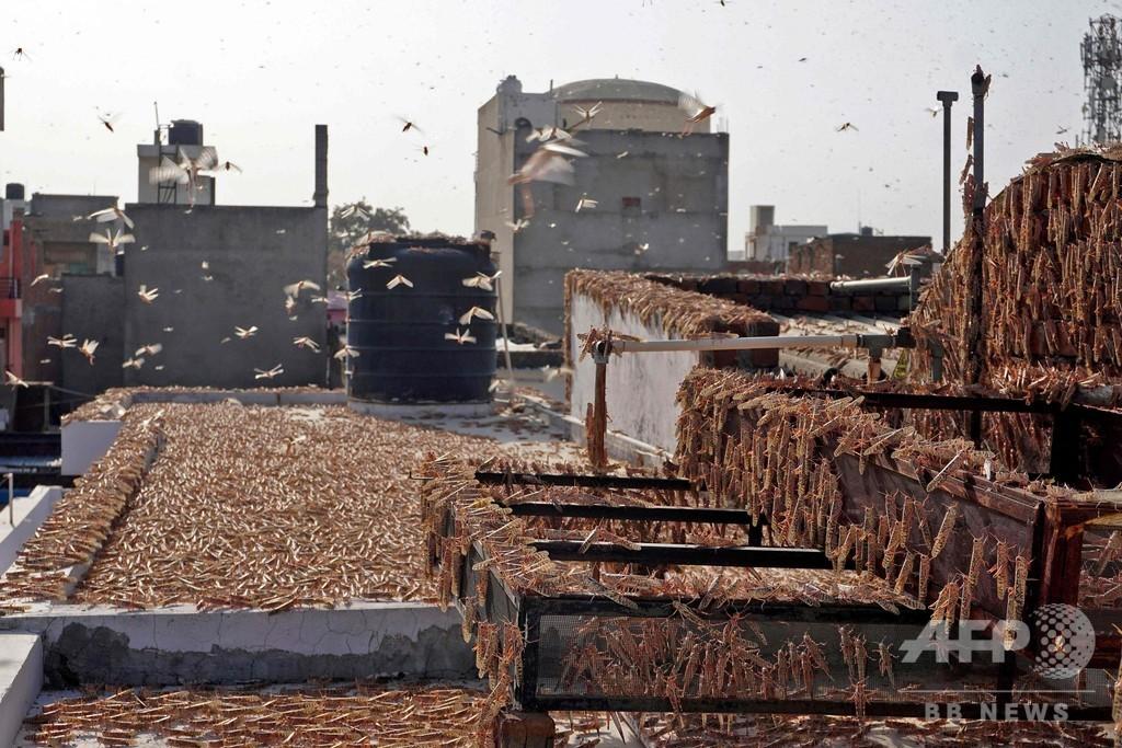作物食い尽くすバッタの大群、ドローンで追跡・殺虫剤散布 インド