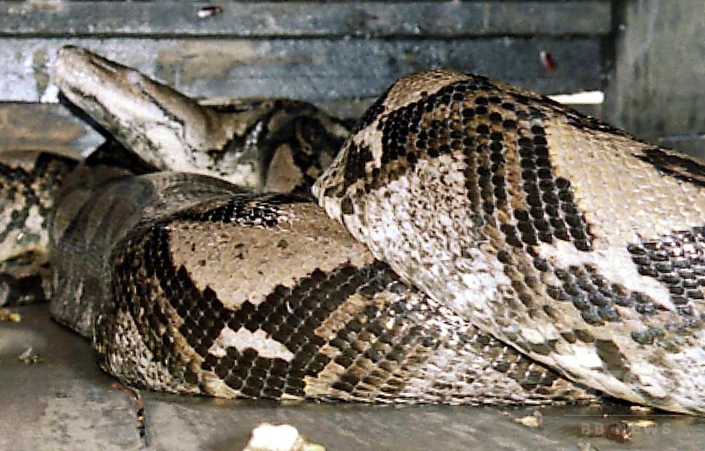 7メートルのニシキヘビの体内から女性の遺体 インドネシア