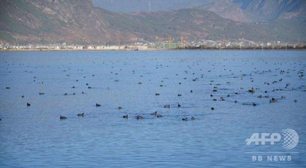 「渡り鳥の楽園」雲南の自然保護区に冬の使者が到来、環境保護活動の成果