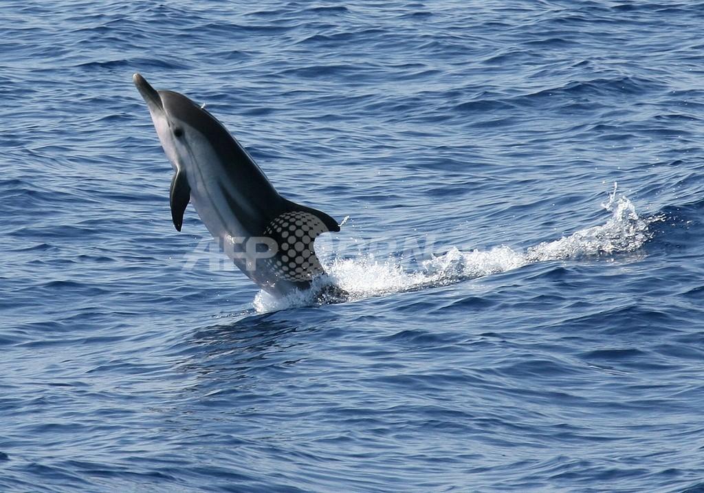 クジラ・イルカ密漁防止の新たな武器は「DNA」、台湾