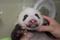 上野動物園のパンダ生後40日、ここまで大きくなりました