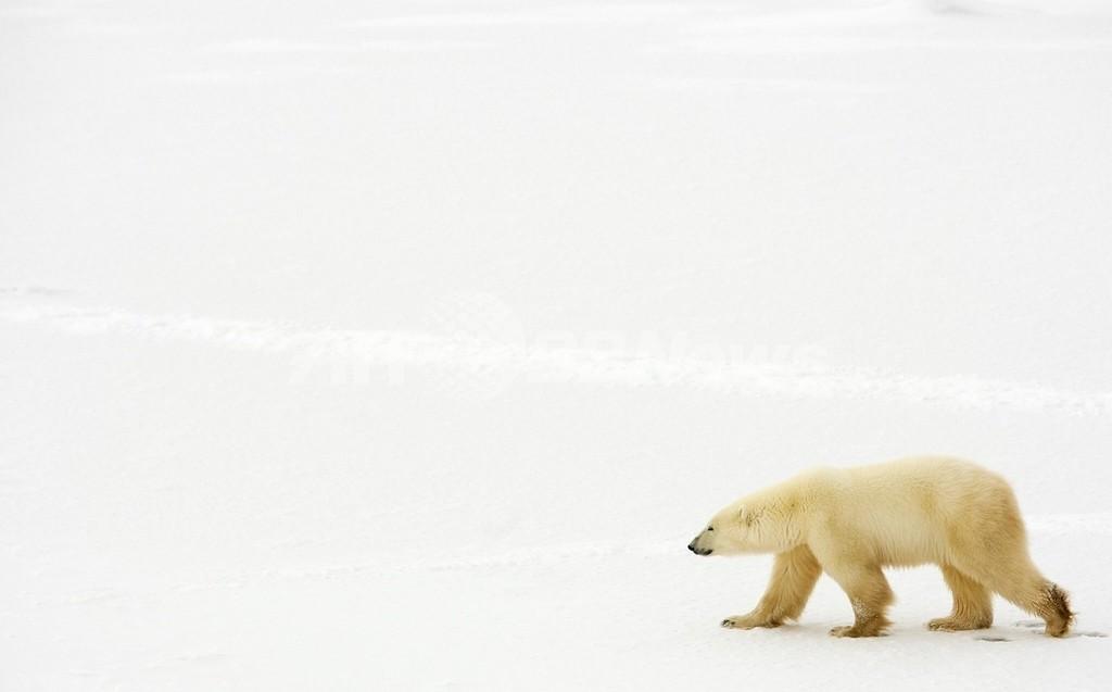 シロクマの保護区を指定へ、アラスカの50万平方キロ 米政府