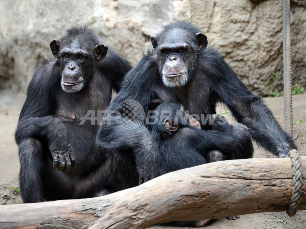 チンパンジーの「人権」めぐる申し立て、米裁判所が却下