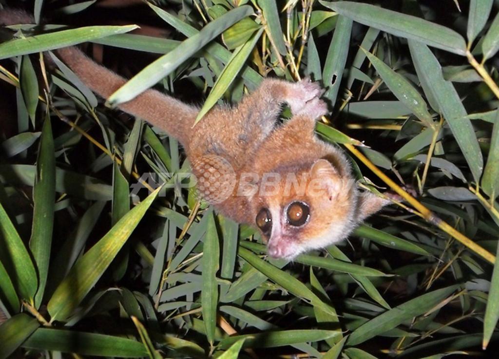 マダガスカルのネズミキツネザル2種、霊長類の新種と特定