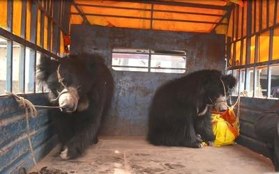 ネパール最後の「踊る熊」救出 大道芸の見せ物、虐待と批判