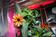 国際宇宙ステーションで初の開花、オレンジ色の百日草