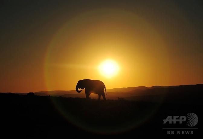 アフリカゾウの生態が昼夜逆転、密猟回避で 研究