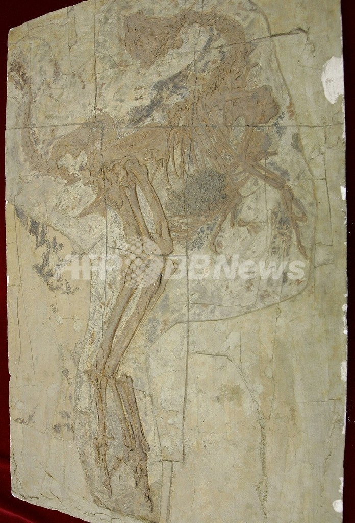 「鳥型」のコエルロサウルス類の多くは草食恐竜だった、米研究