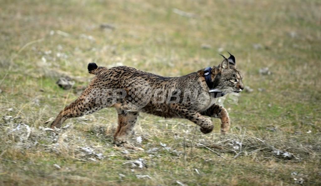 希少種スペインオオヤマネコ、気候変動で50年以内に絶滅 研究