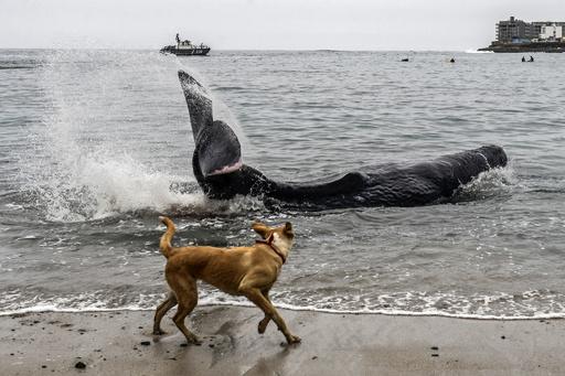 【今日の1枚】犬が見守る先には…打ち上げられたクジラ