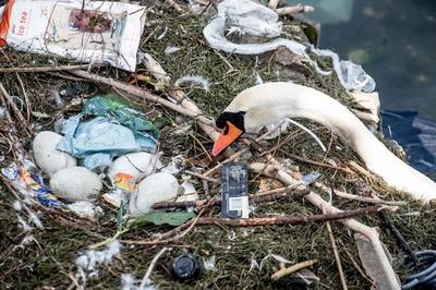 湖のごみで作られた白鳥の巣、中には卵も デンマーク