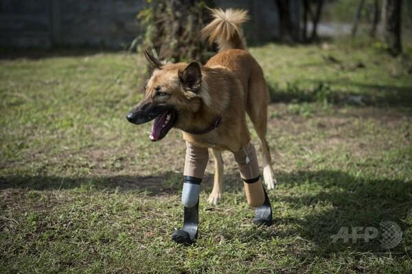 前脚2本切断された犬、特注義足で新たな命もらう タイ